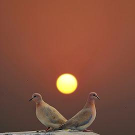 Rise of the Dove  by Shashank Kesarwani - Animals Birds ( moments, nature, dove, sunset, birds )