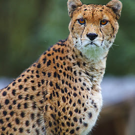 Guépard du Soudan by Gérard CHATENET - Animals Lions, Tigers & Big Cats