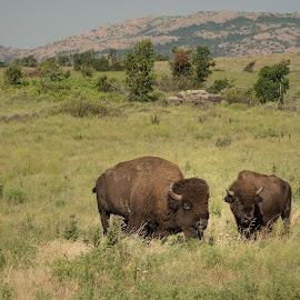 Buffalo on the Range by Eva Ryan - Animals Other Mammals ( grassland, hills, buffalo, oklahoma, animal,  )