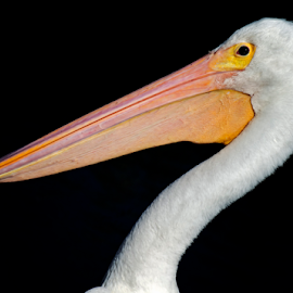 by Shelly Wetzel - Animals Birds ( pelican )