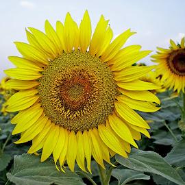 sunflower.... by Mohsin Raza - Flowers Single Flower