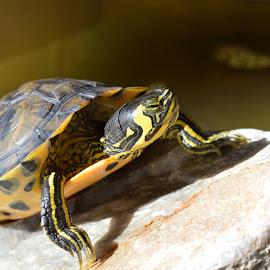 terrapin by Maria Gerolymatou - Animals Amphibians ( terrapin, aquarium, turtles, water turtle, turtle,  )
