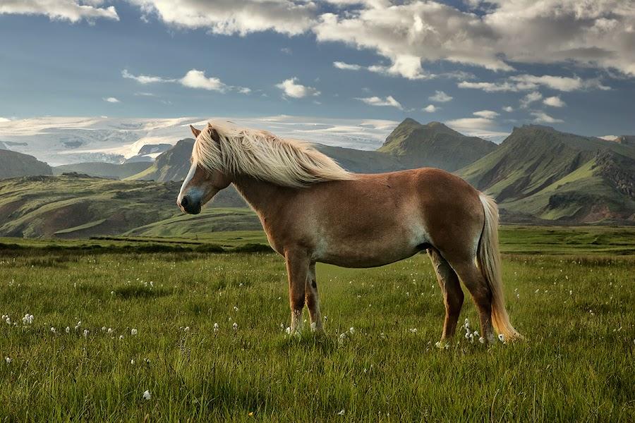 Icelandhorse by John Aavitsland - Animals Horses
