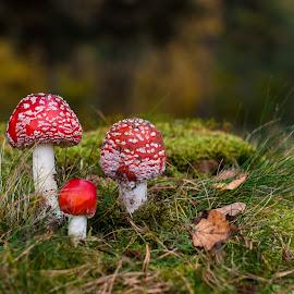 by Irena Gedgaudiene - Nature Up Close Mushrooms & Fungi ( mushroom, amanita )