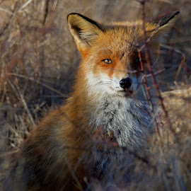 Fox by Michael Pelz - Animals Other