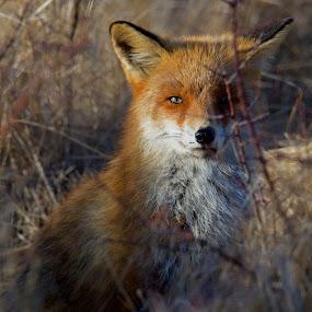 Fox by Michael Pelz - Animals Other