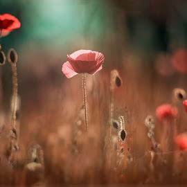 Poppy Time by Jerry Kambeitz - Flowers Flowers in the Wild ( field, backlit, red, poppies, weeds )