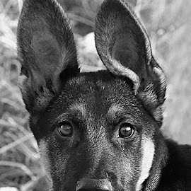 Young Nico by Chrissie Barrow - Black & White Animals ( monochrome, black and white, pet, fur, ears, puppy, german shepherd, dog, mono, nose, portrait, eyes, animal )