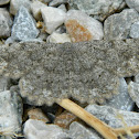 Gnophos sartata moth
