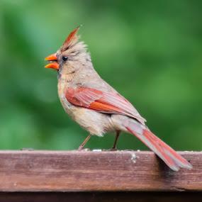 Cardinal by Sandy Hogan - Animals Birds ( cardinal, bird photos, bird watching, bird photography, birding,  )