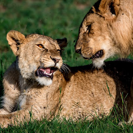 This is my spot.  by Shereena Vysakh - Animals Lions, Tigers & Big Cats
