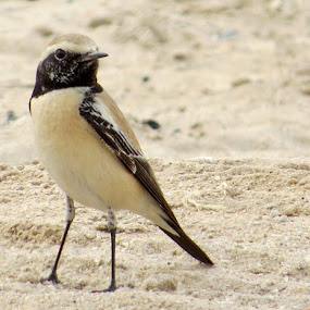 bird by Yahia  husain - Animals Birds ( bird, wilflife, animals, birds )