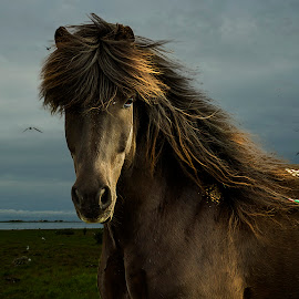 Black Beauty by Ríkarður Óskarsson - Animals Horses