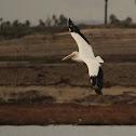 American-white pelican