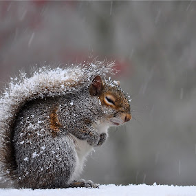 BRRRRRR  !! by Mark Turnau - Animals Other Mammals ( old, snow, wildlife, squirrel )