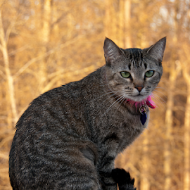Have you gotten the shot yet? by Myra Brizendine Wilson - Animals - Cats Portraits ( cats, cat, cat with pink collar, pet, pets, feline )