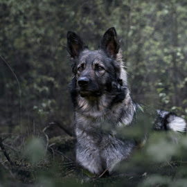 I see you... by Hilda Palm - Animals - Dogs Portraits ( forest, dog )