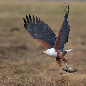 Fish Eagle by Neal Cooper - Animals Birds ( fish eagle )