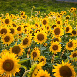 Sunflowers in the evening by Dan Bartlett - Landscapes Prairies, Meadows & Fields ( field, ohio, green, summer, sunflower, brown, bloom, yellow, flower )