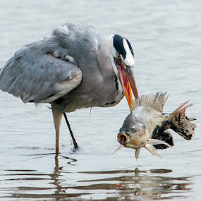 Grey Heron by Ken Cheung - Animals Birds ( bird, grey heron, catch )