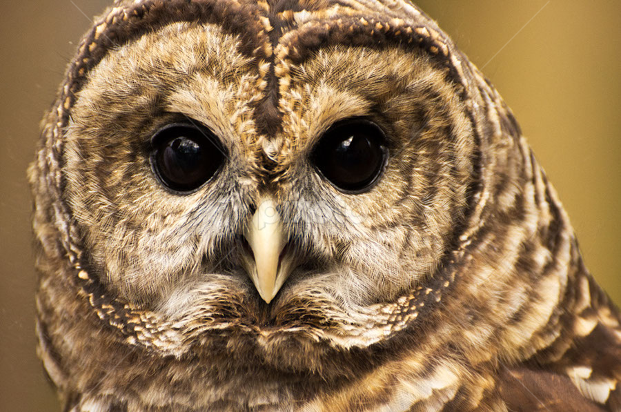 Barred Owl Close-up by Josh Mayes - Animals Birds ( barred, beak, owl, brown, feathers, close-up, eyes )