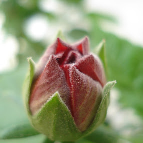 Bud by Akash Kumar - Novices Only Flowers & Plants