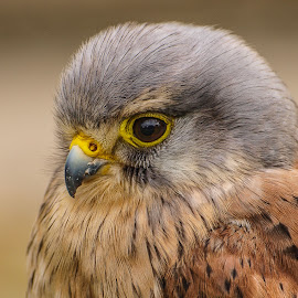 Kestrel by Garry Chisholm - Animals Birds ( bird, garry chisholm, nature, prey, raptor, kestrel )