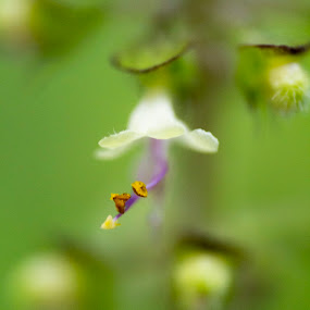 Flower- Holy Basil by Shovan Sam - Nature Up Close Gardens & Produce ( canon )