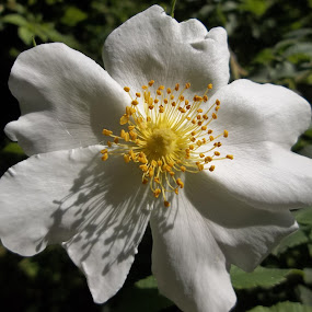 Цвят by Georgi Kolev - Flowers Single Flower ( слънце., сенки., храст., ден., цвят. )