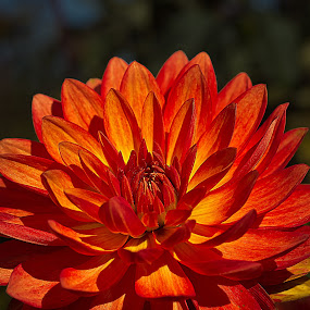 Dahlia by Thomas Stroebel - Nature Up Close Flowers - 2011-2013 ( orange, red, autumn, garden, dahlia, flower )