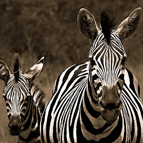 Mom & I by Pieter J de Villiers - Black & White Animals ( mammals, baby zebra, animals, black & white, zebra, mom )