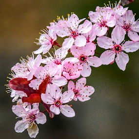 Spring Tree Blossoms by Jerry Cahill - Flowers Tree Blossoms ( tree flowers, flowering plum tree, blossoms, plum )