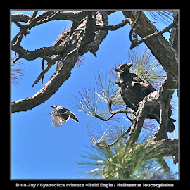 { Blue Jay / Cyanocitta cristat ~ Bald Eagle / Haliaeetus leucocphalus ~ 5 July } by Jeffrey Lee - Typography Captioned Photos ( { blue jay / cyanocitta cristat ~ bald eagle / haliaeetus leucocphalus ~ 5 july } )