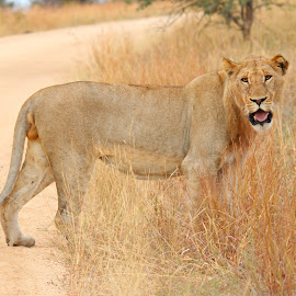 Young male Lion, Kruger National Park, South Africa by Gillian Soames - Animals Lions, Tigers & Big Cats