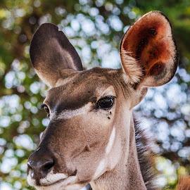 Kudu Cow, Chobe NP by Simon Shee - Animals Other Mammals ( botswana, kudu, wildlife, africa, chobe np, animal,  )