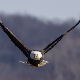 Bald Eagle in Flight by Buddy Woods - Animals Birds ( bird, predator, bird of prey, eagle, bald eagle, raptor, bald eagles, eagles, birds, raptors, bif )