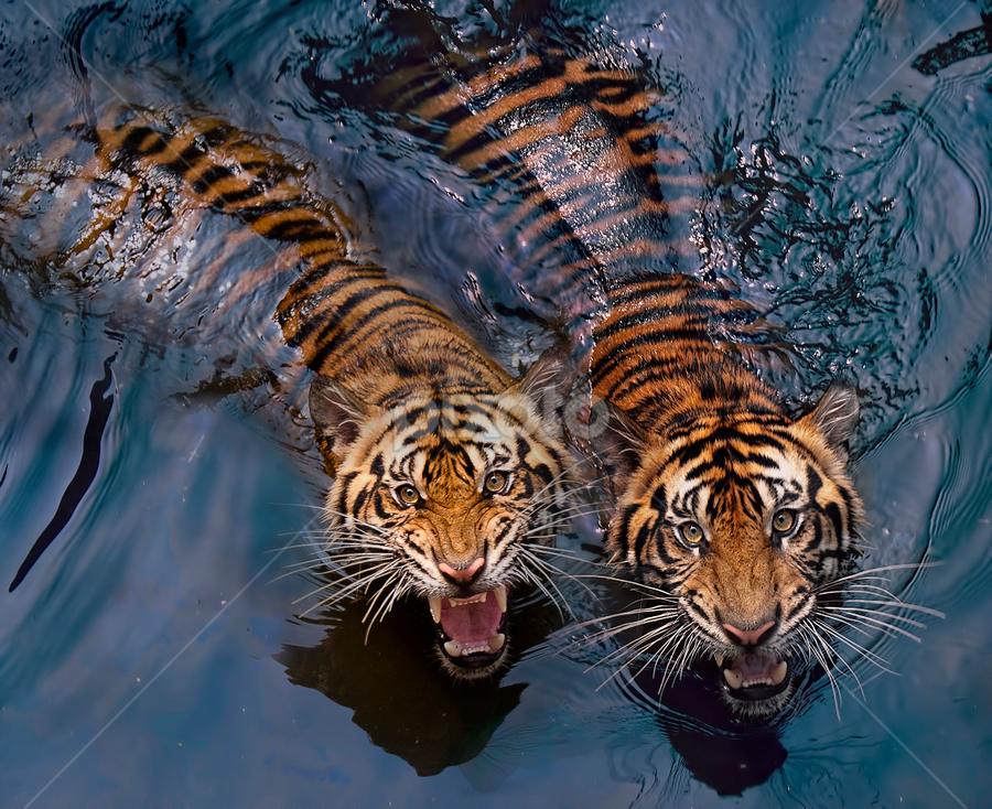 Couple Tiger by Robert Cinega - Animals Lions, Tigers & Big Cats ( tiger, animals in motion, fantastic wildlife, pwc76, motion, animal,  )