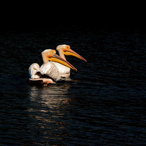 Pelican by Saeed Shoummo - Novices Only Wildlife