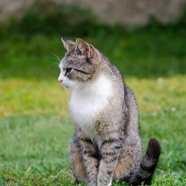 Our pet by Marino Bobetić - Animals - Cats Portraits ( sripes, cat, domestic cat, portrait, tiger, sitting )