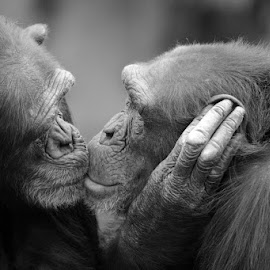 True love xx by John More - Animals Other Mammals ( best friends, lovers, monkeys, ape, couple, together )