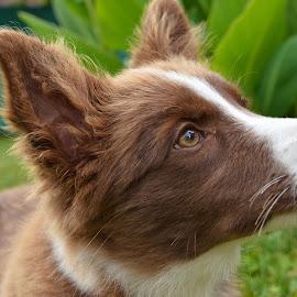 Amy  2 by Bojan Kolman - Animals - Dogs Portraits