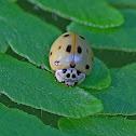 Ten-spotted Lady Beetle
