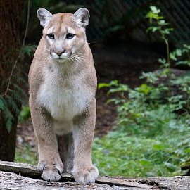 Cougar by Barbara Brock - Animals Lions, Tigers & Big Cats ( bobcat, cougar, cougar in the zoo, mountain lion, large cat )