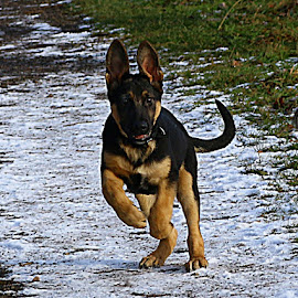 Puppy Greeting by Chrissie Barrow - Animals - Dogs Running ( pet, snow, path, ears, legs, puppy, german shepherd, dog, tail, running, tan, black )