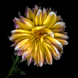 The Last Dahlia  by Robert Fawcett - Flowers Single Flower ( nature, flowers, dahlia, garden, flower )