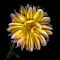 Dahlia001_Scan.jpg