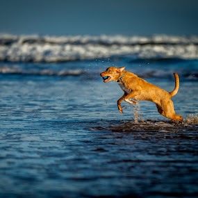Focus on the dog by Malcolm Hare - Animals - Dogs Running (  )
