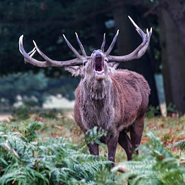 The Call by Jackie Goodwin - Animals Other ( animals, nature, autumn, nature close up, forest, deer )