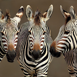 Zebra Trio by Shawn Thomas - Animals Other Mammals