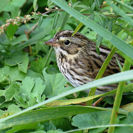 Savannah Sparrow by Erika  Kiley - Novices Only Wildlife ( bird, hiding, grass, stripes, sparrow )